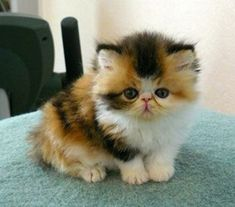 Long Hair Calico Kittens   Calico long haired kitten / i heart cats - Juxtapost