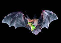A pallid bat holds a meal of a katydid. Credit Merlin D. Tuttle/Bat Conservation International