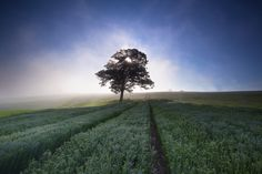 Flaxfield Tree - A misty mid summer sunrise over a field of linseed flax