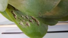 Two leaves on my flapjack Kalanchoe are getting holes in them. They are drying up from the inside it looks like, or something is eating it. These leaves