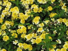 90 Lantana Bandana Lemon Zest Live Plants Plugs Garden Home DIY Planters 139 #Lantana