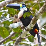 A toucan --- just one of many creatures seen up close while on our Aqua Expeditions cruise.