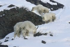 Two young kids follow an adult mountain goat as they forage for food on a rocky cliff up Big Cottonwood Canyon. (Scott Sommerdorf   |  The Salt Lake Tribune)