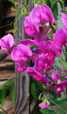 ✯ Climbing Sweet Peas @Emily Caviglia plant yours now momma! So the yard will be pretty in spring!!