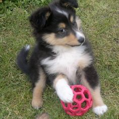 "Cute Tri offers that ""sly Sheltie look"" #shelties #puppies"