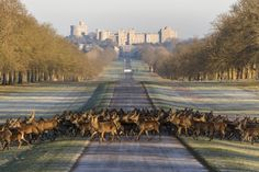(PHOTO: VisitEngland) UK bucket list: Things to do in Britain before you die: Marvel at the world's oldest occupied castle in Windsor With a history spanning 900 years, Windsor Castle is the oldest and largest occupied castle in the world. To appreciate its full majesty, take a stroll down the three-mile Long Walk between the castle and Snow Hill in Windsor Great Park before turning around to admire the iconic view of the castle from afar. Over 500 red deer roam freely around the Deer Park