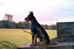 Doberman sunrise