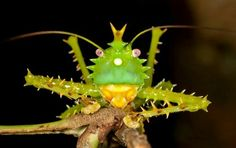 Spike - headed Katydid....coolest looking insect I have ever seen :)