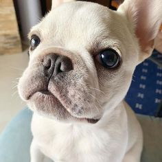 This Store for Frenchie Lovers who want to order T Shirt, Hoodie, Tanktop, Mug, Pillow. about french bulldog. All our Innovative designs and excellent quality which will make you happier with your dog. Cute Dogs And Puppies, I Love Dogs, Doggies, Baby French Bulldog, Loyal Dogs, Fur Babies, Your Dog, Dog Lovers, Dog Cat