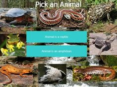 """This PowerPoint is a live-working interactive dichotomous key! The students are to pick an animal they like to begin the """"game"""" or lesson. The students are then presented with questions about the animals such as: Is the animal a reptile or amphibian? Does the animal need to live in moist habitats? Does the animal have teeth? etc.  After clicking the correct button, only the animals with the chosen characteristics are left on the screen."""