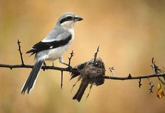 A Great Grey Shrike with an impaled Dunnock.   Credit to Glenn Vermeersch.