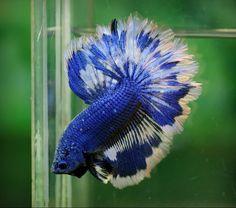 Royal blue white fancy