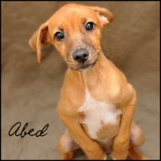 Abed is an adoptable Jack Russell Terrier Dog in Birmingham, AL.  Primary Color: Tan Secondary Color: White Weight: 10.0 Age: 0yrs 3mths 2wks  Animal has been Neutered...