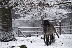 A bred-back tarpan, or Eurasian wild horse, walks through this winter's first snowfall at the Betzenberg Wildlife Park in Kaiserslautern, Germany, Dec. 3, 2014. (Joshua L. DeMotts/Stars and Stripes)