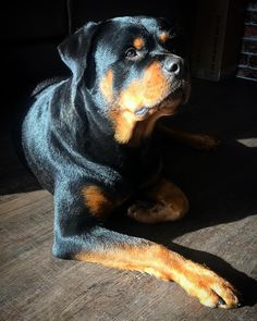 What a beautiful rottweiler! www.bullymake.com via: @rottie.kaisa