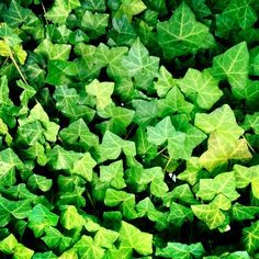 Ivy -  is very pretty; yet I don't know if I would want it in my yard.  I was always told growing up that it draws snakes.