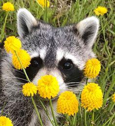 Flowers and raccoon Cute Raccoon, Racoon, Woodland Creatures, Woodland Animals, Rare Animals, Strange Animals, Amor Animal, Pet Rats, Little Critter