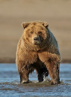 Grizzly Staredown by Nature's Photo Adventures - David G Hemmings, via Flickr