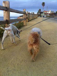 JoJo & Buddy walking along Pleasure Point's new promenade