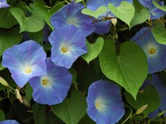 Morning Glories in Bloom in Arlington, Massachusetts, USA by Darlyne A. Murawski