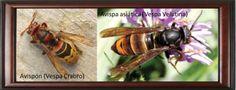 Las avispas, visitantes habituales de la colmena. http://mieladictos.com/