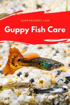 Fish Care, Guppy, Tropical Fish, Animals, Animales, Animaux, Exotic Fish, Animal Memes, Animal