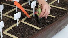 Como plantar Mudas na sua Horta