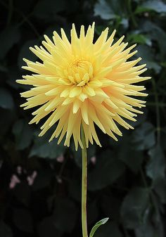 Dahlia 'Gilwood Terry G' Exotic Flowers, Amazing Flowers, Love Flowers, Yellow Flowers, Indoor Flowering Plants, Flowering Trees, Dahlia Flower, Blossom Flower, Blossom Garden