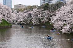 Cherry Blossom Report 2013: Tokyo Report