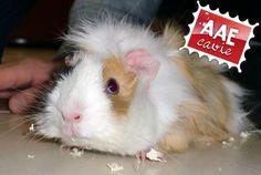 [AAE Cerco casa] Mi vuoi adottare?  adozioni@aaecavie.it  #animali #cavie