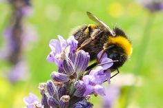 Bumble Bee fluttering about on some lovely summer lavender.