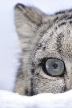 EYE of a Snow Leopard - by: (Josef Gelernter)