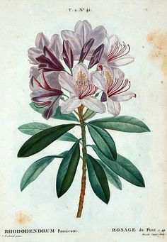 Pierre Joseph Redouté Rhododendron Ponticum 1801-19