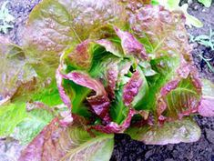 Simple romaine lettuce salad recipe All recipes include calories and Weight Watchers