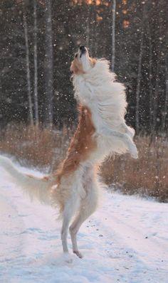 z- Borzoi on Hind Legs (Attacking Evil Snowflakes) [Fanny Victoria Classon]