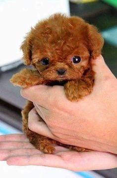 26 Teeny Tiny Puppies Guaranteed To Make You Say Awww! Question: Who loves tiny puppies? Correction: Everyone! Everyone loves tiny puppies! Baby Animals Super Cute, Cute Baby Dogs, Cute Little Puppies, Cute Dogs And Puppies, Cute Little Animals, Cute Funny Animals, Little Dogs, 15 Dogs, Adorable Puppies