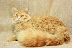 09/26/2016 ADOPT Crush - SUPER URGENT - TO BE DESTROYED - CHRISTIAN COUNTY ANIMAL SHELTER in Hopkinsville, Kentucky - ADOPT OR FOSTER - Large Adult Neutered Male Domestic Long Hair Tabby cat, 2 years old, good with people, friendly, loving, sweet, abandoned pet, he has been overlooked for 2 months.