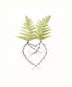 Art Print - Two Ferns in Love - Print of Watercolor - Heart - Earth Day - Nature Romantic - Woodland Forest Roots - Newlywed Gift Idea. via Etsy. Botanical Art, Botanical Illustration, Illustration Art, Painting Prints, Watercolor Paintings, Fine Art Prints, Watercolor Heart, Watercolor Wedding, Watercolor Tattoo