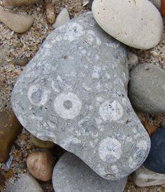 Pebble with crinoid fossils, Fort Sheridan, Illinois, September 2009