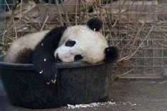 Cub in a tub...