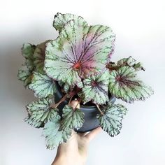 Indoor Garden, Indoor Plants, Does Anyone Know, Begonia, Houseplants, Pastel, Pretty, Green, Room