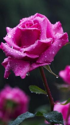 The miniature rose plant itself can grow to a height of four to five feet thus you can grow miniature roses in your garden. Beautiful Rose Flowers, Wonderful Flowers, Pretty Roses, All Flowers, Exotic Flowers, My Flower, Lavender Roses, Pink Roses, Rosa Rose