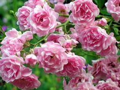 """Rosa """"The Fairy"""""""