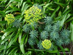 T.E.R:R.A.I.N - Taranaki Educational Resource: Research, Analysis and Information Network - Euphorbia cyparissias (Cypress Spurge)
