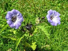 Nicandra physaloïdes ; semis, culture et entretien Plantation, Detox Tea, Dark Red, Red Color, Pure Products, Bird, Purple, Keeping Flies Away, Garden Products