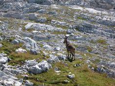 Foto zgodba 7: V planinah seveda vidimo tudi živali, ki prebivajo samo v gorah. Primož je opazil gamsa. Avtor: Primož Grešovnik