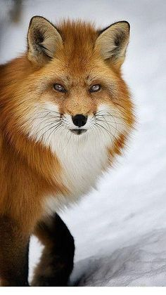 stunning red fox by michel roy - Pixdaus