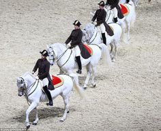 Vienna's Spanish Riding School  majestic horses were rehearsing at an arena in Sheffield on Thursday afternoon