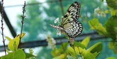 Black and white stripe Butterfly    Copyright Mai Wilde  Allow to Repin only.