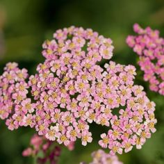 Vegetable seeds and flower seeds, including single colour, single variety seeds, heirloom seeds and rare or unusual seeds, plants and bulbs. Achillea, Flower Seeds, Planting Flowers, Fragrance, Fruit, Plants, Gardening, Sunset, Park